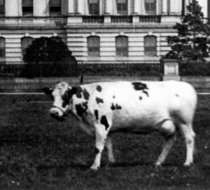 Holy Cow! History: 'The President's Cow Is Missing!'